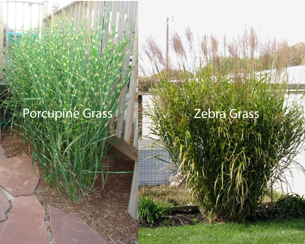 Porcupine Grass Vs Zebra Grass Homeverity Com